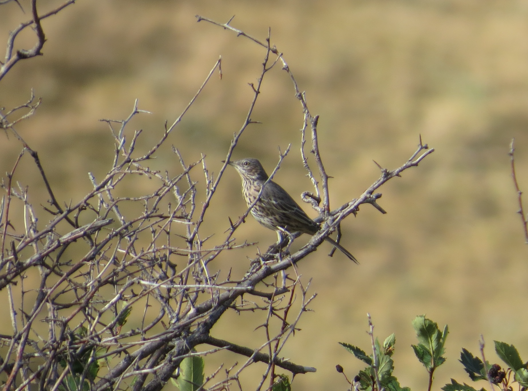 Kate spotted the second Sage Thrasher of the season.