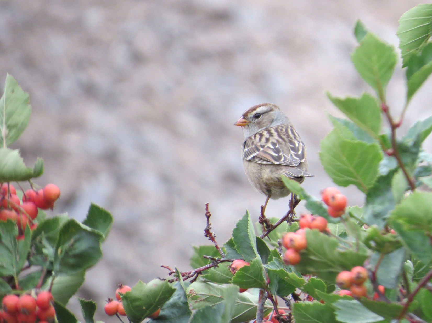 This juvenile White-crowned Sparrow was one of the first of its species we detected during this fall migration. We just started seeing adult White-crowned Sparrows this week.