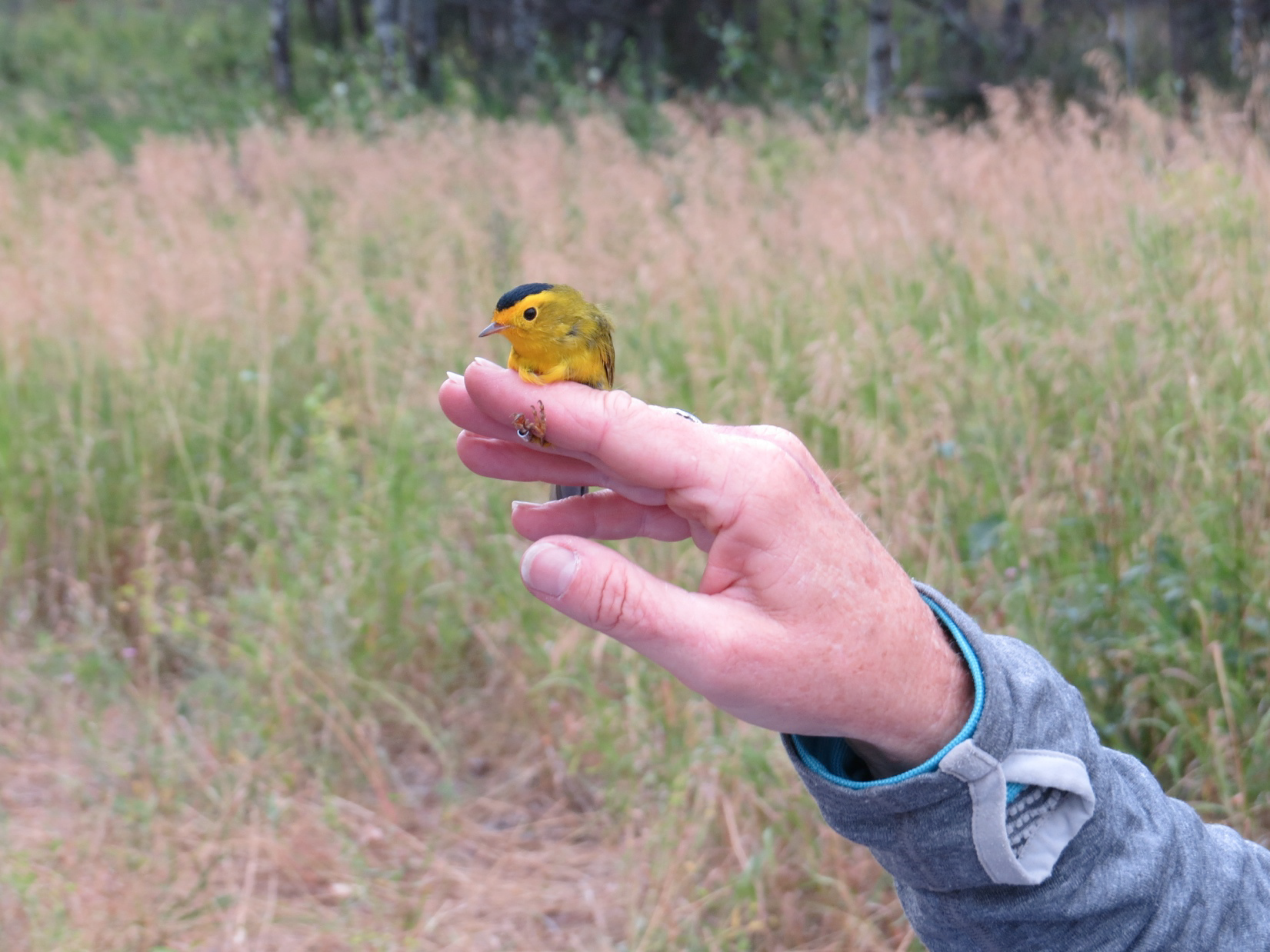 A male Wilson's Warbler was one of the more uncommon warblers captured by the Avian Science Center this fall.