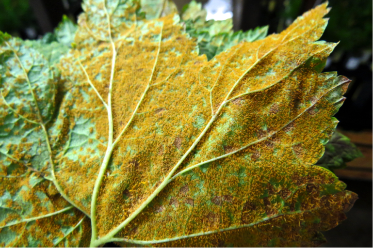To inoculate seedlings, Ribes leaves infected with blister rust are placed spore-side down on a screen above the trees at 100% humidity (image above).  After a few hours, the virulent fungal spores fall onto the seedlings below.  A single leaf may contain thousands of spores (image below).