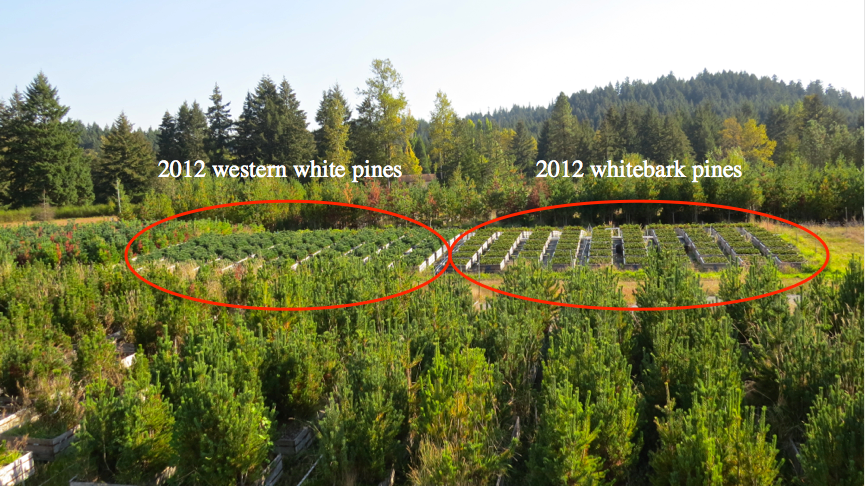 Many western white pines sown in 2010 and inoculated in 2012 already show signs of stem cankering (image below). We used canker data collected last spring to sample needles from trees and families that appear healthy vs. those that show severe systemic infection.