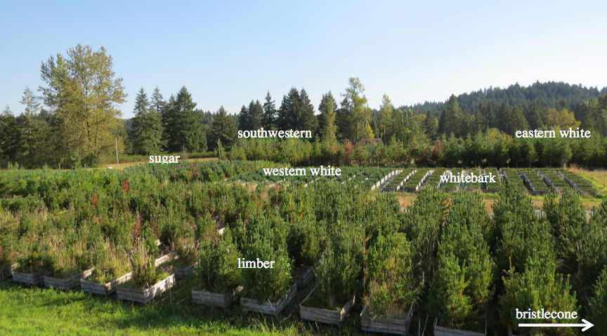 The facilities at Dorena GRC also provide a unique common garden design to compare endophyte communities of different species of five needle pines (image below). We sampled from 2014 needles of sugar, western white, whitebark, bristlecone, southwestern, limber, and eastern white pine trees to look for selection of foliar endophytes based on tree species.  The small spacing between each species group suggests exposure to a similar population of fungal endophytes from the surrounding environment.