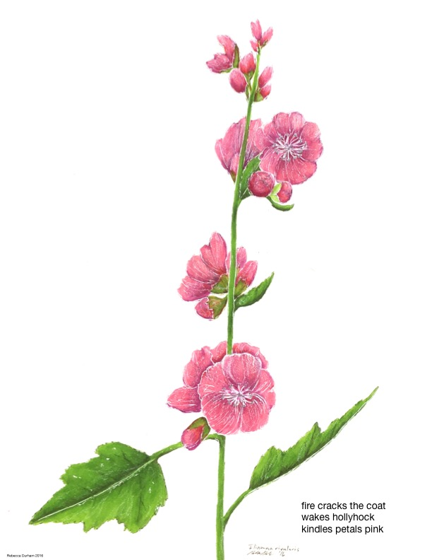 Mountain Hollyhock