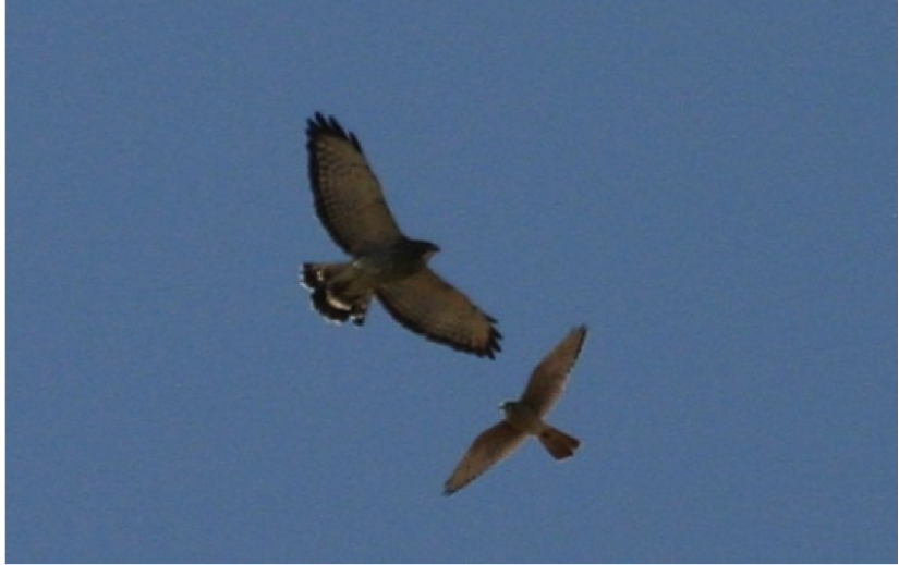 A Broad-winged Hawk (left) and an American Kestrel (right) circle above the count site