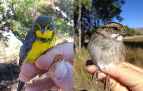Avian Science Center technician captured some unusual species, including a Canada Warbler (left) and a White-throated Sparrow (right).
