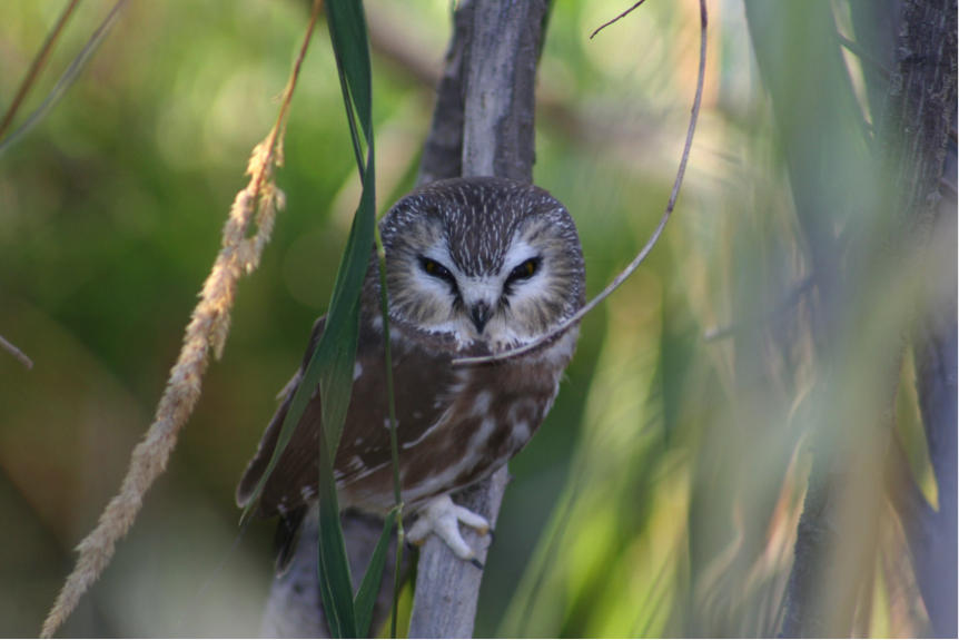 Northern saw-whet owl migration MPG Ranch staff captured 38 Northern Saw-whet Owls and used radio telemetry to track their migration route south through the Bitterroot Valley. Most owls travelled through the foothills on the east and west sides of the valley. Many exhibited multi-day stopovers as they migrated. We tracked one owl over 50 miles; its greatest movement in one night was 26 miles.