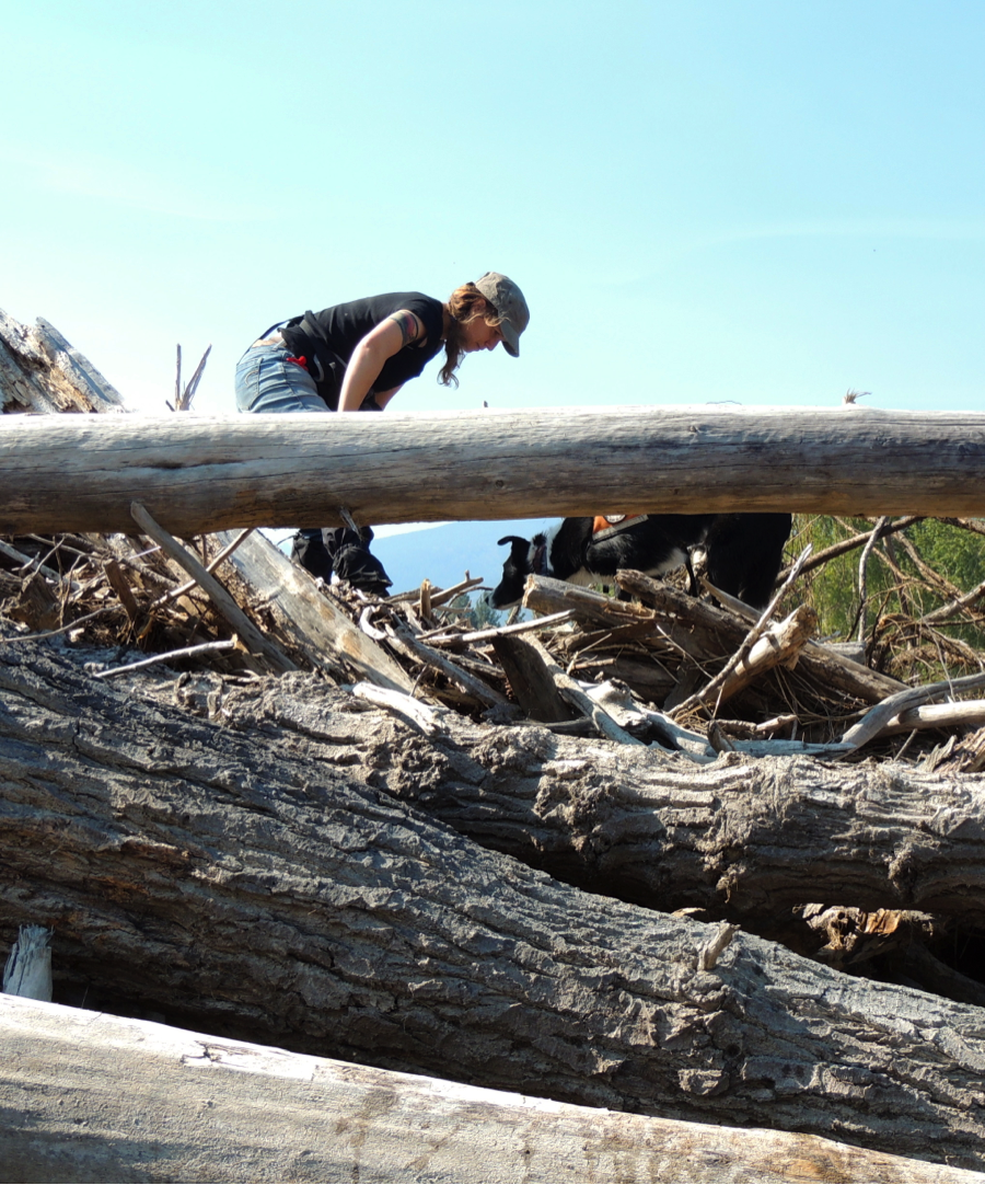 Orbee sniffed out a scat in this logjam. Due to difficult accessibility, a human searcher might avoid these logs, or find the logjam too complex for a thorough search.