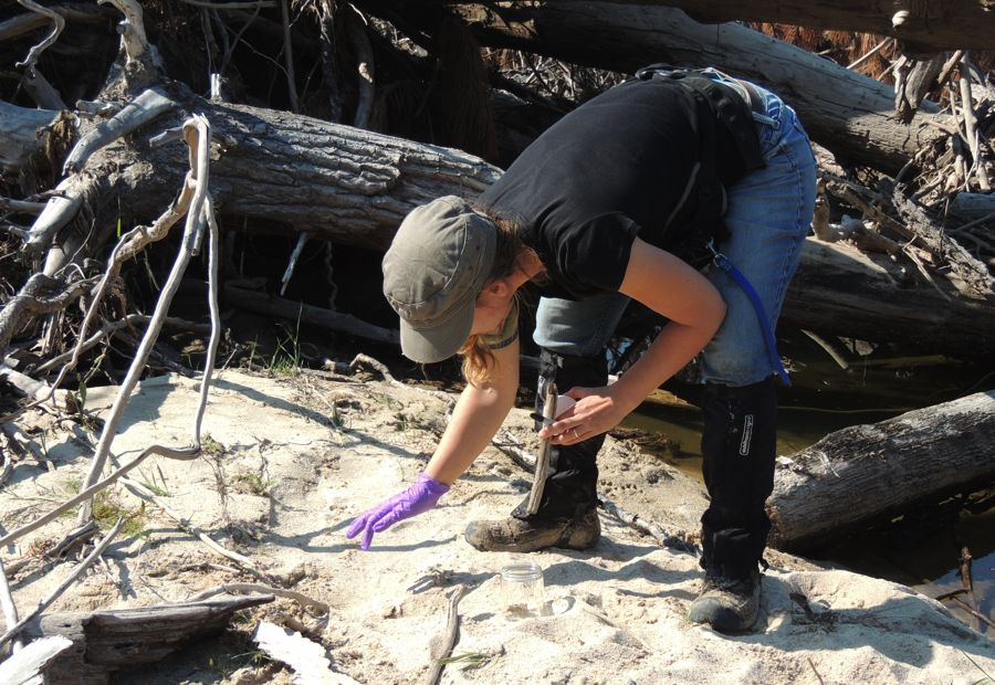 Ngaio collected fresh otter scats for chemical contaminant analyses.  Fresh samples require careful handling. Ngaio wore gloves to deposit fresh scats in sterile glass jars. She can analyze these samples later to determine heavy metal content, species, sex, and individual identification.