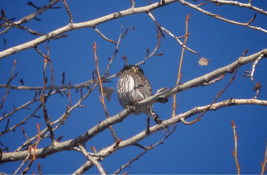 Alan Ramsey saw this Northern Pygmy-owl on the floodplain in February of 2011.