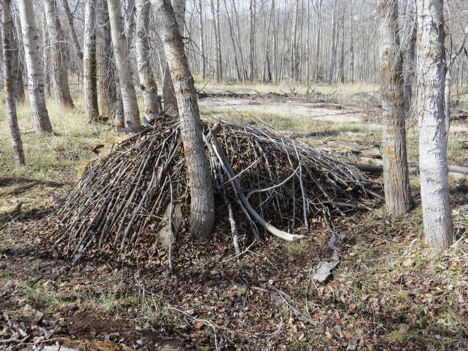 This photo shows the back of a classic debris hut in the style taught by Tom Brown Jr. of the Tracker School. This structure was designed for environments where leaf litter is abundant.