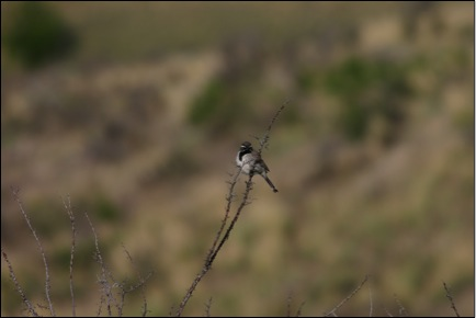 Rare black-throated sparrow found on the ranch.