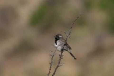 Rare black-throated sparrow close up.