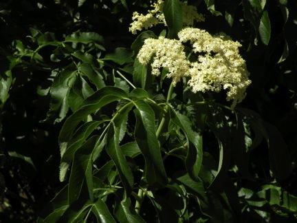 Elderberry Flower