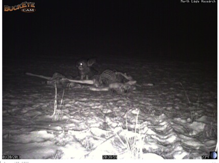 Great Horned Owl eats at a carcass.