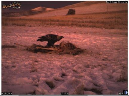 Golden eagle eats at a carcass.