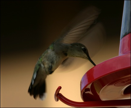 A black-chinned hummingbird visits a feeder. It is difficult to distinguish females from immature birds this time of year.