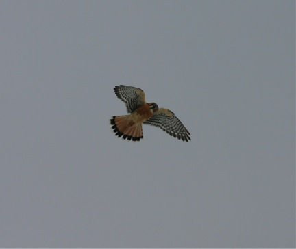 A male American Kestrel briefly hovers over the observation site before flying north.