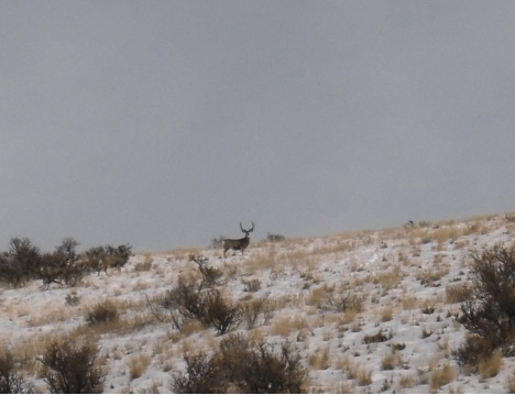 The group and I spotted a large number of mule deer in the lion's hunting area.