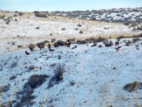 Elk loafing.