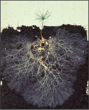 Ectomycorrhizal fungi colonize a small pine seedling