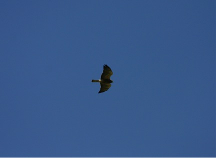 A Swainson's hawk wings are two-tone underneath. There is a small, local, population in the Missoula valley.