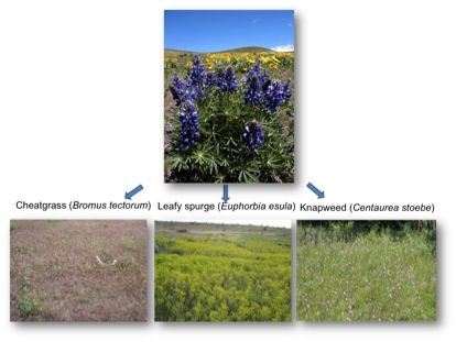 We show that plant invasions can benefit selected soil microbial groups.  What are the consequences of this for plant restoration?