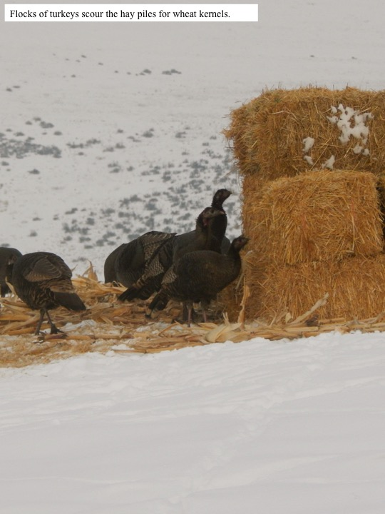 Flocks of turkeys scour the hay piles for wheat kernels.