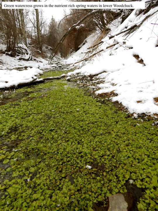 Green watercress grows in the nutrient rich spring waters in lower Woodchuck.