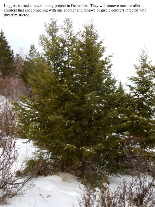 Loggers started a new thinning project in December. They will remove most smaller conifers that are competing with one another and remove or girdle conifers infected with dwarf mistletoe