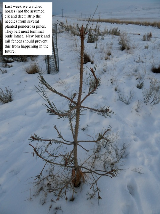 Last week we watched horses (not the assumed elk and deer) strip the needles from several planted ponderosa pines. They left most terminal buds intact. New buck and rail fences should prevent this from happening in the future.
