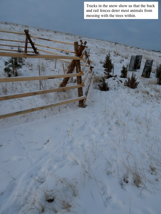 Tracks in the snow show us that the buck and rail fences deter most animals from messing with the trees within.
