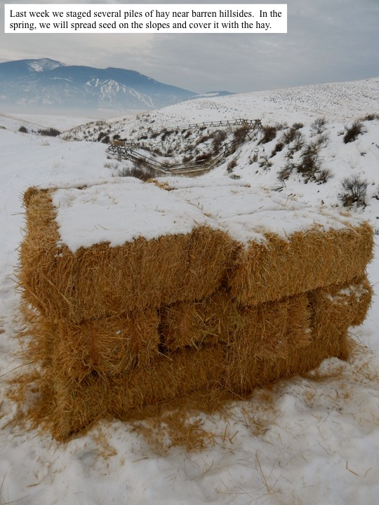 Last week we staged several piles of hay near barren hillsides. In the spring, we will spread seed on the slopes and cover it with the hay.