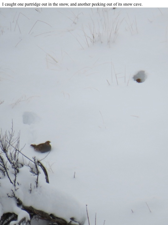 I caught one partridge out in the snow, and another peeking out of its snow cave.
