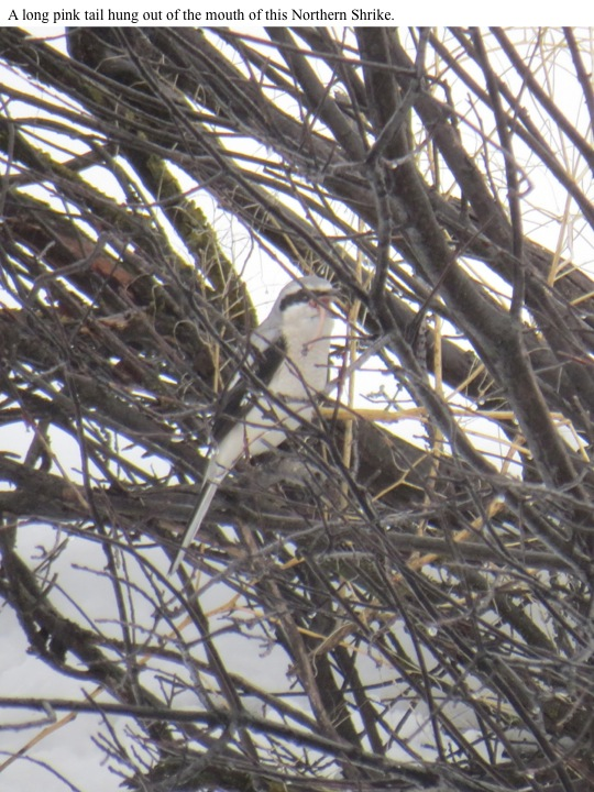 A long pink tail hung out of the mouth of this Northern Shrike.