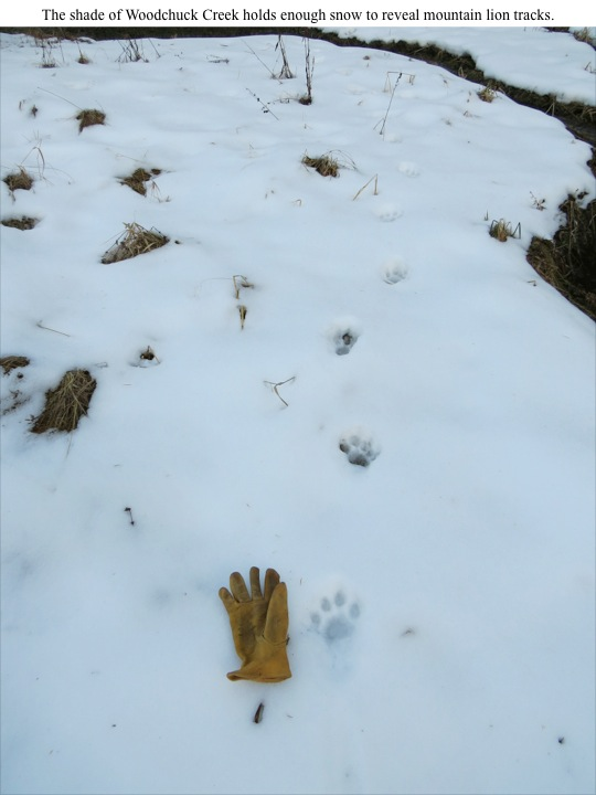 The shade of Woodchuck Creek holds enough snow to reveal mountain lion tracks.