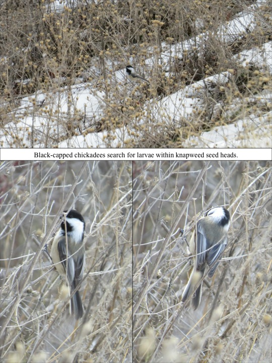 Black-capped chickadees search for larvae within knapweed seed heads.