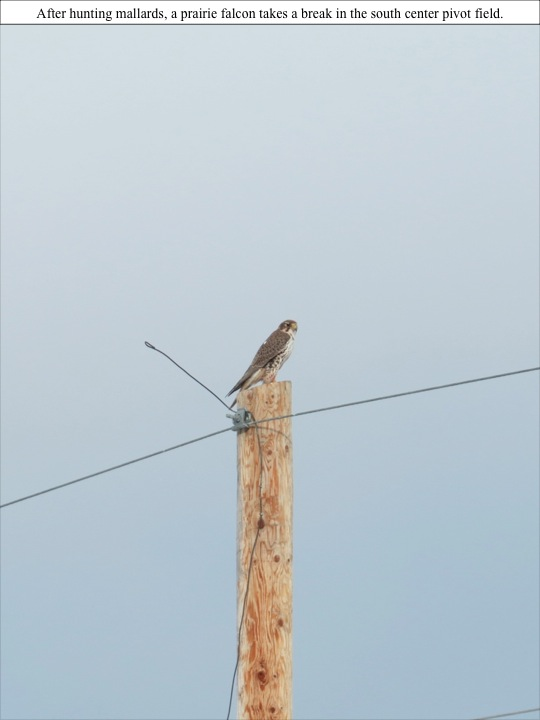 After hunting mallards, a prairie falcon takes a break in the south center pivot field.