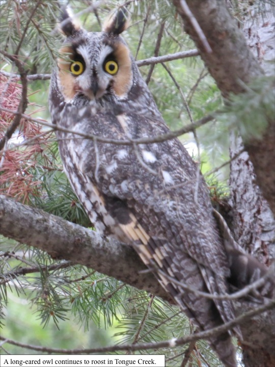 A long-eared owl continues to roost in Tongue Creek.