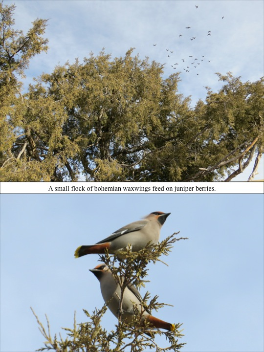 A small flock of bohemian waxwings feed on juniper berries.
