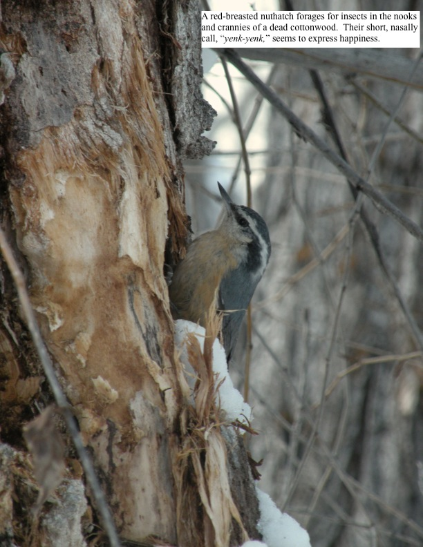 "A red-breasted nuthatch forages for insects in the nooks and crannies of a dead cottonwood. Their short, nasally call, ""yenk-yenk,"" seems to express happiness."