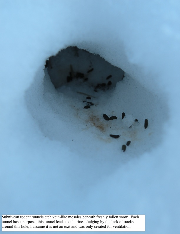 Subnivean rodent tunnels etch vein-like mosaics beneath freshly fallen snow. Each tunnel has a purpose; this tunnel leads to a latrine. Judging by the lack of tracks around this hole, I assume it is not an exit and was only created for ventilation.