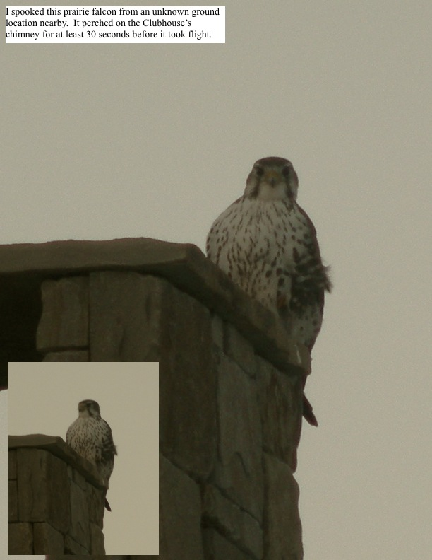 I spooked this prairie falcon from an unknown ground location nearby. It perched on the Clubhouse's chimney for at least 30 seconds before it took flight.