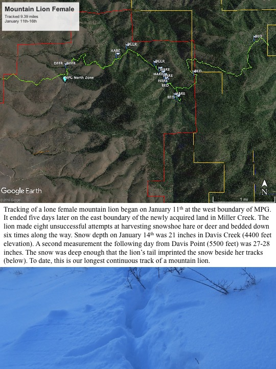 Google Tracking of a lone female mountain lion began on January 11th at the west boundary of MPG. It ended five days later on the east boundary of the newly acquired land in Miller Creek. The lion made eight unsuccessful attempts at harvesting snowshoe hare or deer and bedded down six times along the way. Snow depth on January 14th was 21 inches in Davis Creek (4400 feet elevation). A second measurement the following day from Davis Point (5500 feet) was 27-28 inches. The snow was deep enough that the lion's tail imprinted the snow beside her tracks (below). To date, this is our longest continuous track of a mountain lion.