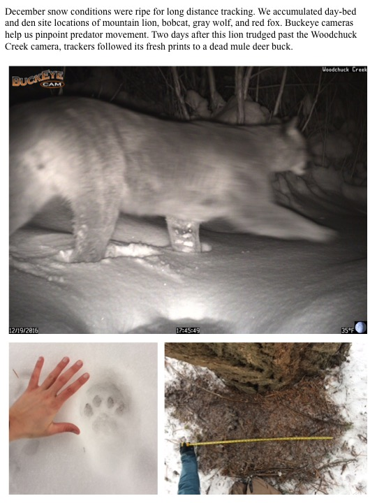 December snow conditions were ripe for long distance tracking. We accumulated day-bed and den site locations of mountain lion, bobcat, gray wolf, and red fox. Buckeye cameras help us pinpoint predator movement. Two days after this lion trudged past the Woodchuck Creek camera, trackers followed its fresh prints to a dead mule deer buck.