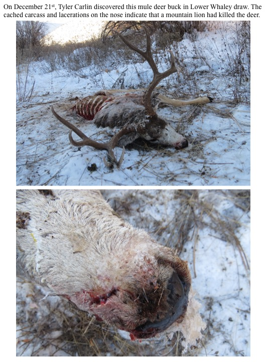 On December 21st, Tyler Carlin discovered this mule deer buck in Lower Whaley draw. The cached carcass and lacerations on the nose indicate that a mountain lion had killed the deer.