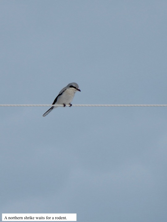 A northern shrike waits for a rodent.