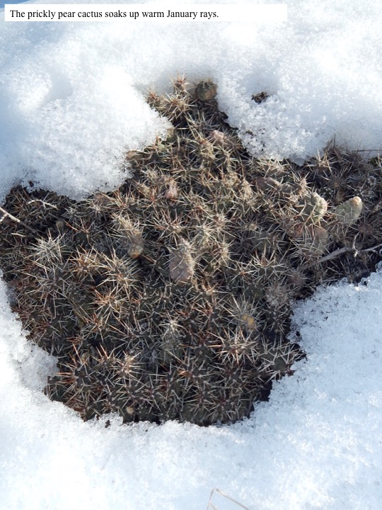 The prickly pear cactus soaks up warm January rays.