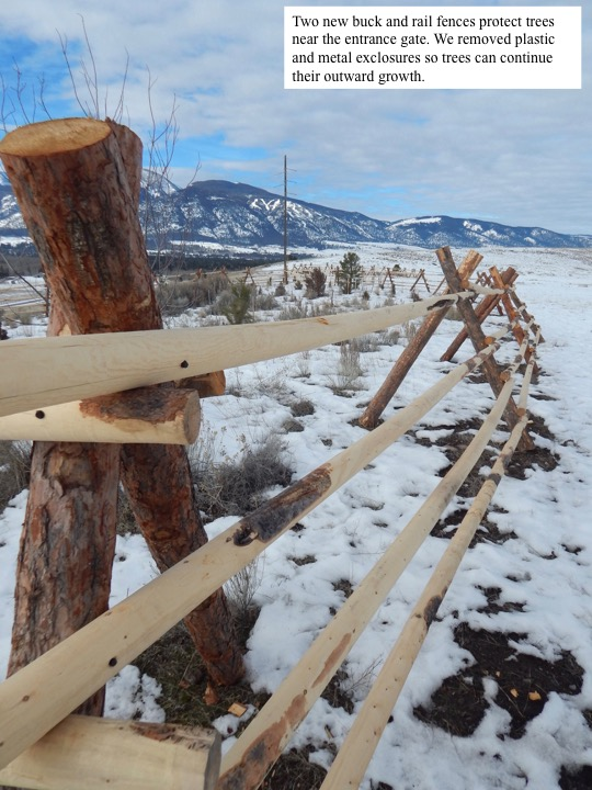 Two new buck and rail fences protect trees near the entrance gate. We removed plastic and metal exclosures so trees can continue their outward growth.