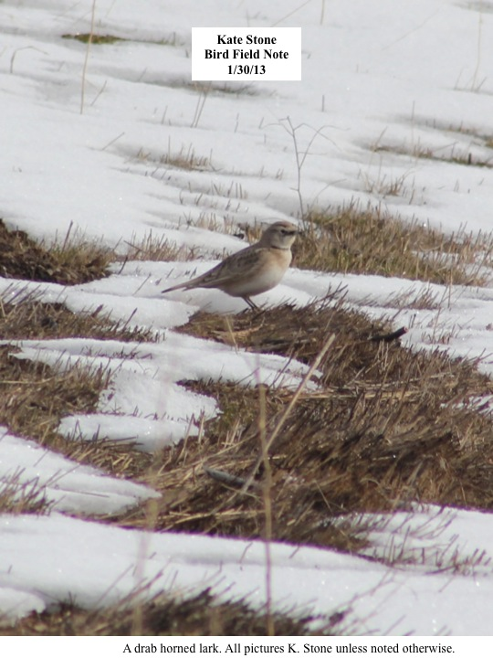 Bird Field Note 1/30/13 A drab horned lark.