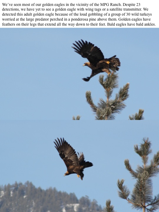 We've seen most of our golden eagles in the vicinity of the MPG Ranch.